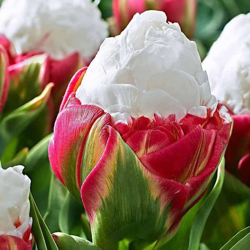 de tulipes arôme Tulip seeds jardin plante pour l'affichage de la