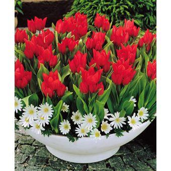 Jardinerie Bulbe à fleurs Assortiments de bulbes BAKKER Tulipes