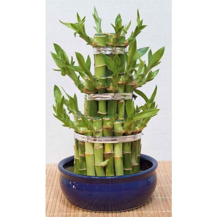 Lucky Bambou» Achat / Vente plante poussée «Lucky Bambou