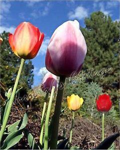 Bulbe Fleur Été Jardin Automne Vivace Tulipe Hybride Darwin Mélange