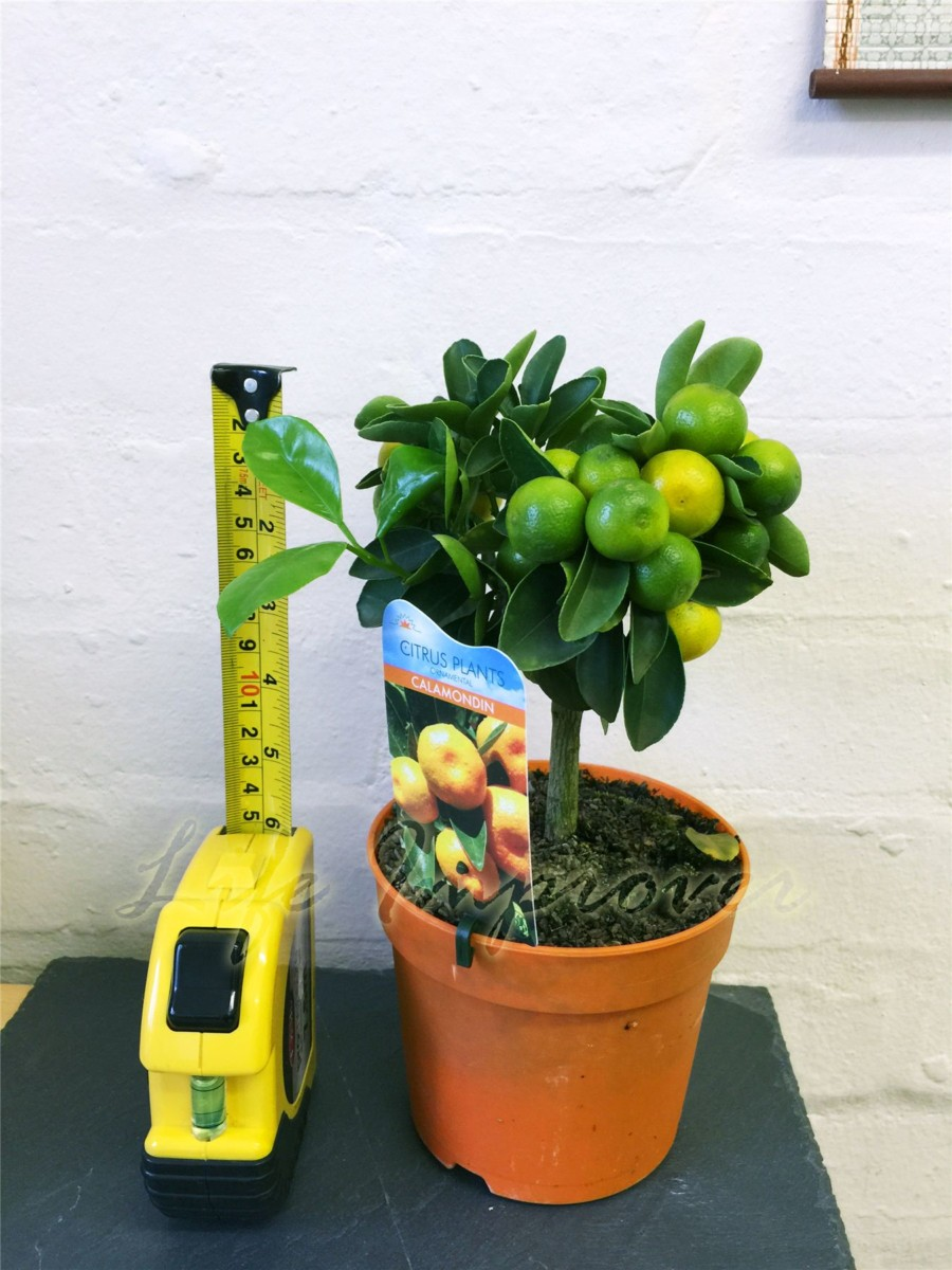 formes Calamondin Agrumes Orange Arbre fruitier Indoor plant en pot