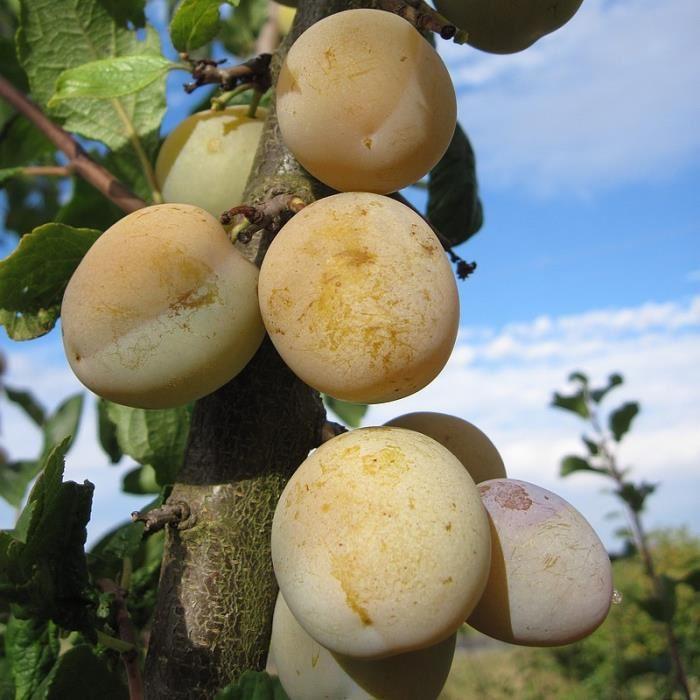 Prunier 'Reine Claude dorée' Prunus domestica vert   Nom botanique