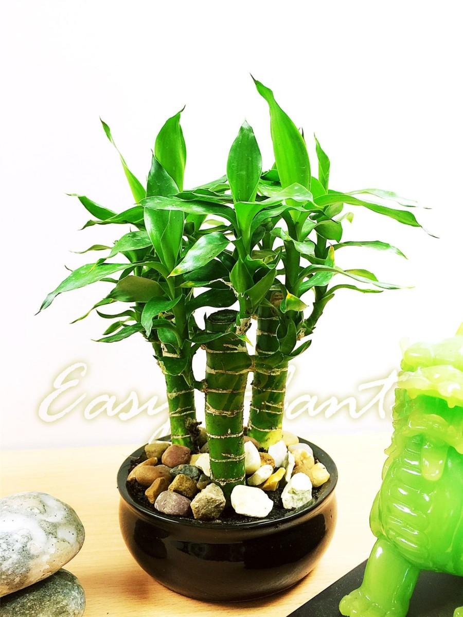 terrasse > Plantes, graines, bulbes > Plantes, jeunes pousses > Bambou