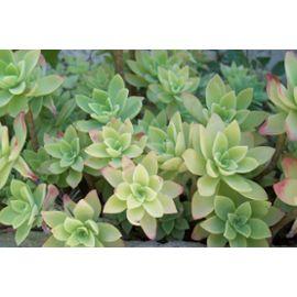 Plante Grasse Aeonium Decorum pas cher Rakuten