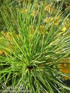 'Papyrus du Nil' ? Graines ? Plante Aquatique, Ornement Bassin