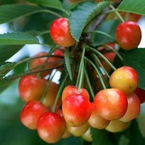 Arbre fruitier Achat / Vente Arbre fruitier pas cher