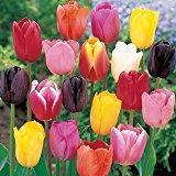 100 Bulbes de tulipes «Mélange» Calibre: 12/+ (Livraison Gratuite)