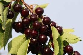Arbre fruitier nain pour terrasse Cerisier Variété «Sunburst